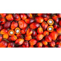 FRESH PALM FRUIT/BANGA